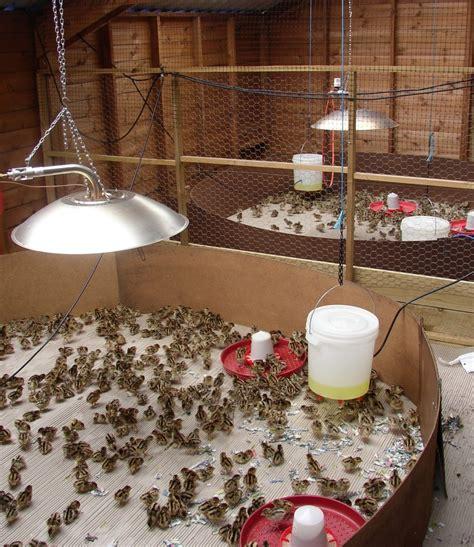 Pheasant Rearing Sheds by Pheasant Poults Pheasant Poults For Sale