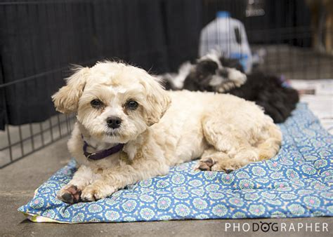 shiba inu shih tzu mix adoptable pets lots of em phodographer