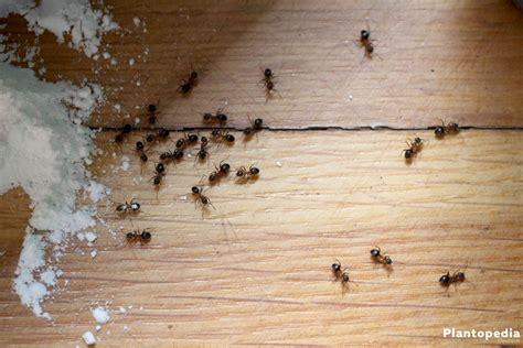 ameisen in der wohnung bekämpfen emejing hausmittel gegen ameisen in der k 252 che contemporary