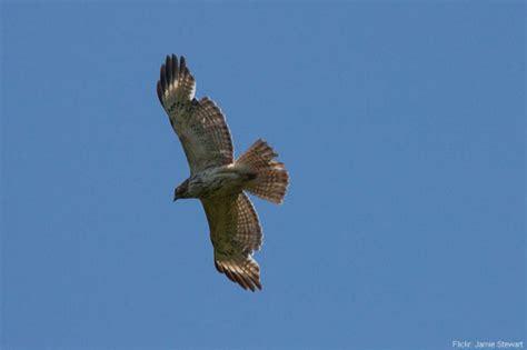 Do Eagles Shed Their Beaks by Exle Of A Juvenile Shouldered Hawk Molting In