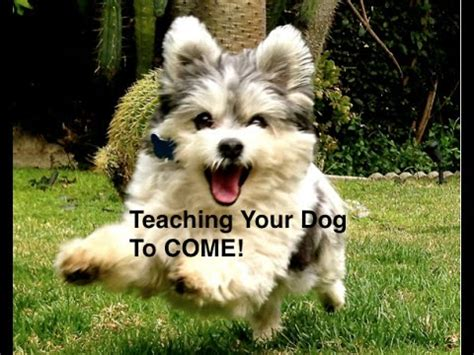 how to teach your to come command teaching come funnydog tv
