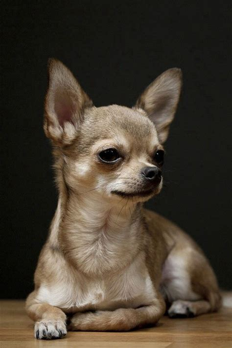 smallest breed in the world smallest breed in the world the sweet of chihuahuas hum ideas