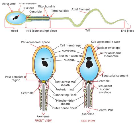 physiology   male reproductive system boundless