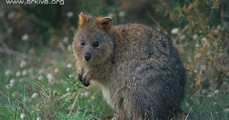 google images quokka the quokka is a small marsupial similar in appearance to a