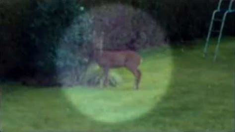 Moving Blue Deer Moving Blue cbbc newsround deer moving into towns and cities