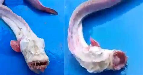 film thailand ikan monster ikan mirip monster ditangkap di thailand okezone news