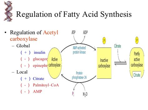fatty acid synthesis pathway diagram fatty acid synthesis diagram pictures to pin on