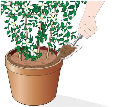 gelsomino in vaso rinnovare il terriccio nel vaso gelsomino cose di casa