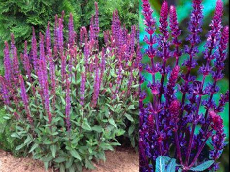 japanese garden plants names botanical name savlia