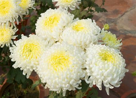 Chrysanthemum Flower Facts and Meaning   November Birth