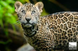 Jaguars Cubs Woodland Park Zoo Jaguar Cubs Take Practice