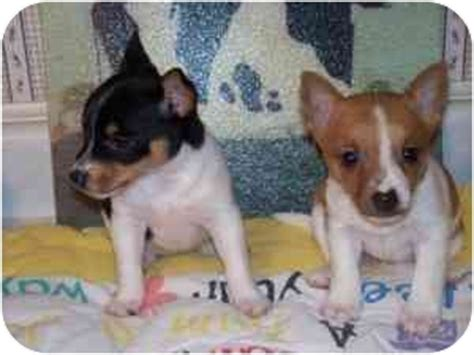 terrier pomeranian mix for sale rat terrier puppies adopt a rat terrier breeds picture
