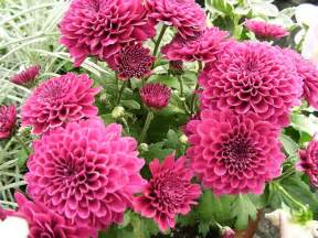 dahlias how to grow and care for dahlia plants the