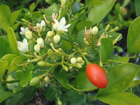 Centini Jahe bonsai jeruk kingkit triphasia trifolia
