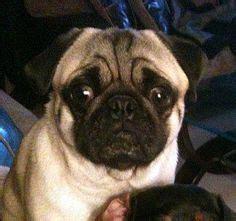 wichita pug rescue pug rescue on