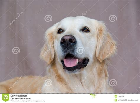are golden retrievers friendly golden retriever friendly royalty free stock images image 7508559