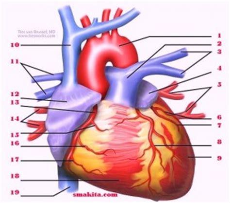 struktur jantung manusia dan fungsinya portal pendidikan indonesia