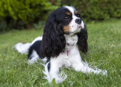 best small dogs for families 12 best small breeds for families with children iheartdogs
