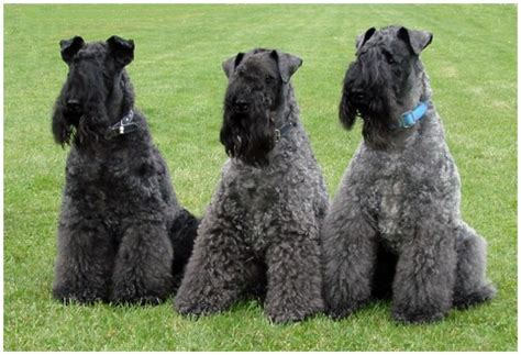 kerry blue terrier puppies kerry blue terrier facts pictures puppies breeders price temperament animals