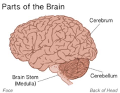 three main sections of the brain the nervous system ck 12 foundation