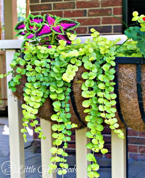 best small hanging plants hometalk best plants for hanging baskets