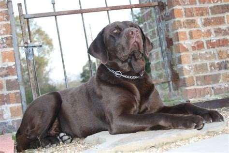 blockhead lab puppies for sale blockhead chocolate labs breeds picture