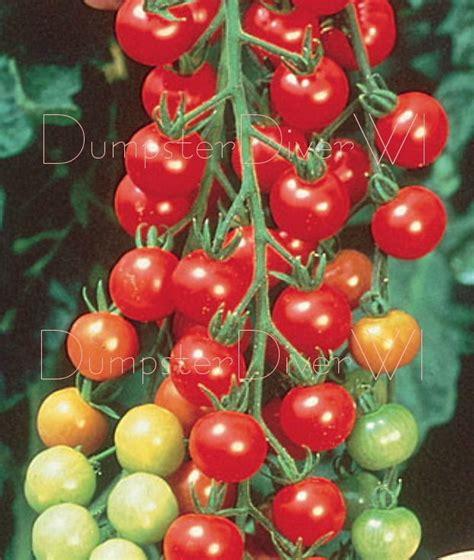 Mini Bell Tomato Seed sweetie tomato 50 seeds organic sugar sweet vigorous