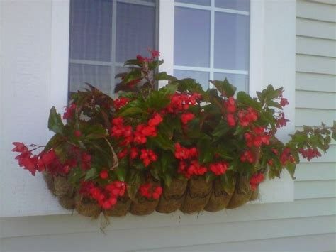 dragon wing begonias window box window box begonia