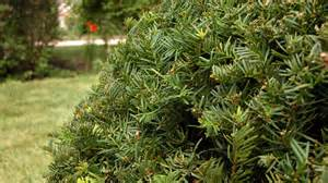 yew shrubs toxic taxus poisonous plants