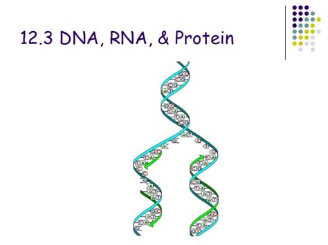 section 3 dna rna and protein chapter 12 3 dna rna and protein