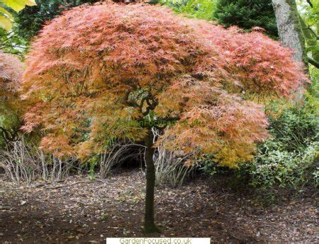 maple tree growing conditions pictures information of acer palmatum ornatum