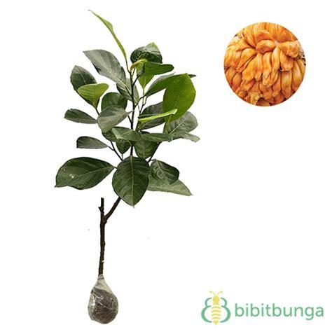 tanaman nangka mini jackfruit bibitbunga