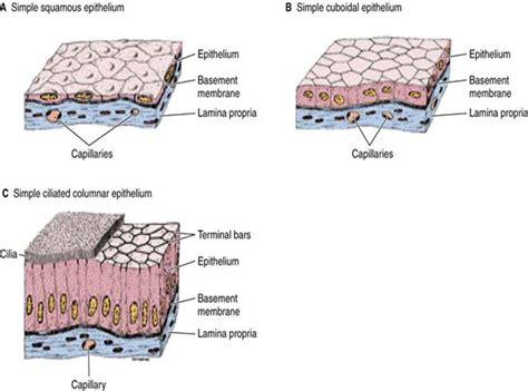 tissue diagram basic knowledge of tissues