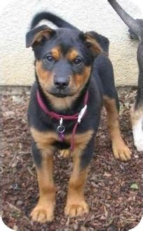 shar pei rottweiler mix puppies hewey adopted puppy fcar 2007 0047 tracy ca rottweiler shar pei mix