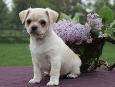 pug wire hair terrier pug mixed breeds on chugs terriers and pugs