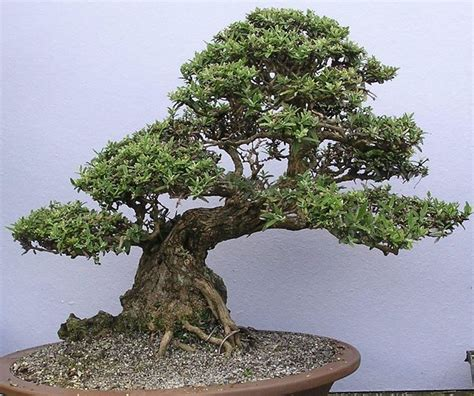 bonsai fiori bonsai da fiore bonsai