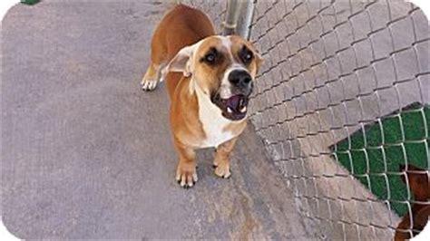 corgi puppies san antonio tank adopted san antonio tx basset hound corgi mix