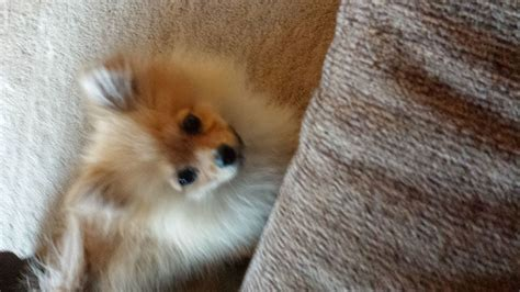 oldest pomeranian 6 month tiny pomeranian worksop nottinghamshire pets4homes