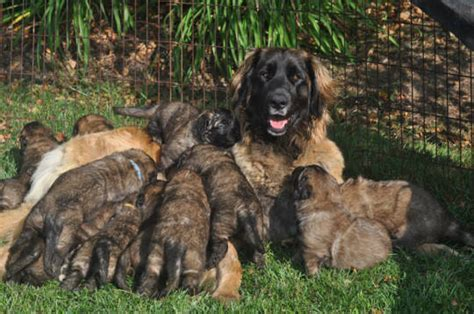 leonberger puppies ohio leonberger puppies for sale in ohio myideasbedroom