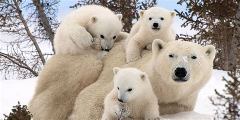 polar bear numbers still on the rise despite global warming climate depot