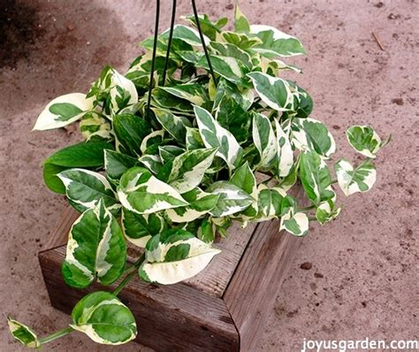 Low Light Plants by 5 Things To Love About Pothos
