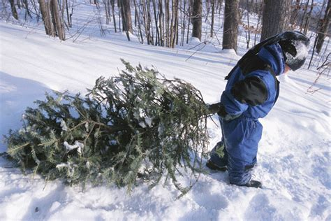 cut down your christmas tree in the national forest
