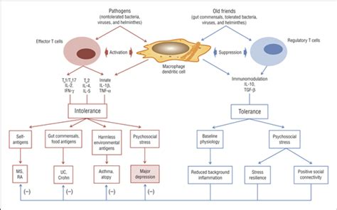 innate immunity a question of balance ora inflammation sanitation and consternation loss of