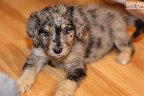 blue merle aussiedoodle puppies for sale merle aussiedoodle puppy breeds picture