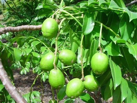 Arbre à Fruits by Caribfruits Pomme Cyth 232 Re Fruits Tropicaux