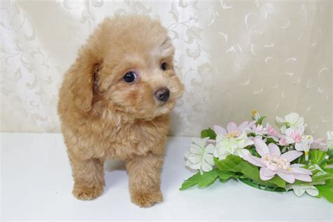 mini poodle puppies miniature poodle image doglers