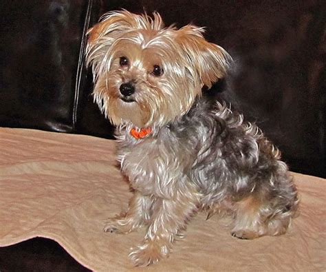 arizona yorkie rescue small yorkies breeds picture