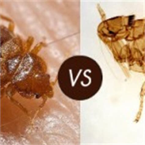 difference between fleas and bed bugs itchy skin identify what bit you panther pest control