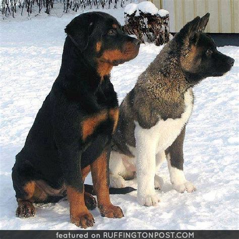 husky rottweiler this rottweiler and husky are buddies ruffington post