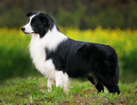border collie the doghouse rumor
